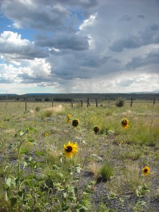 Sunflowers in Cimarron, NM