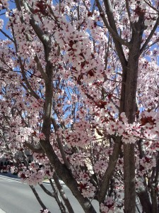 Blossoms in Albuquerque